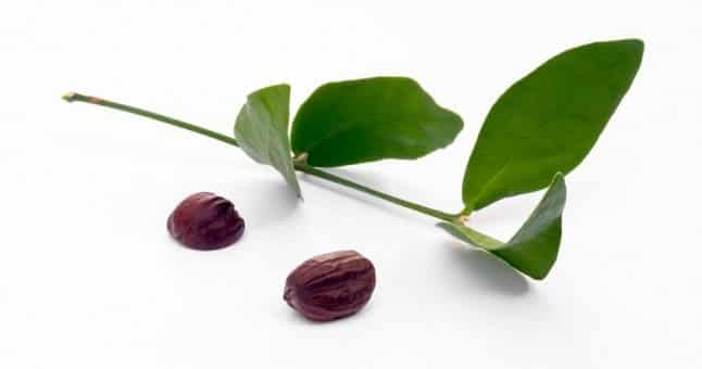 jojoba-plant