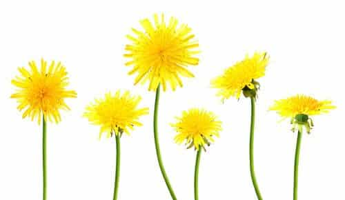dandelion juice - removing skin tag
