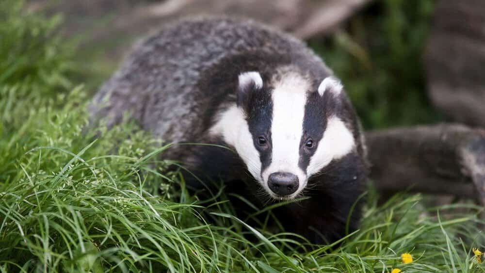 badger-animal