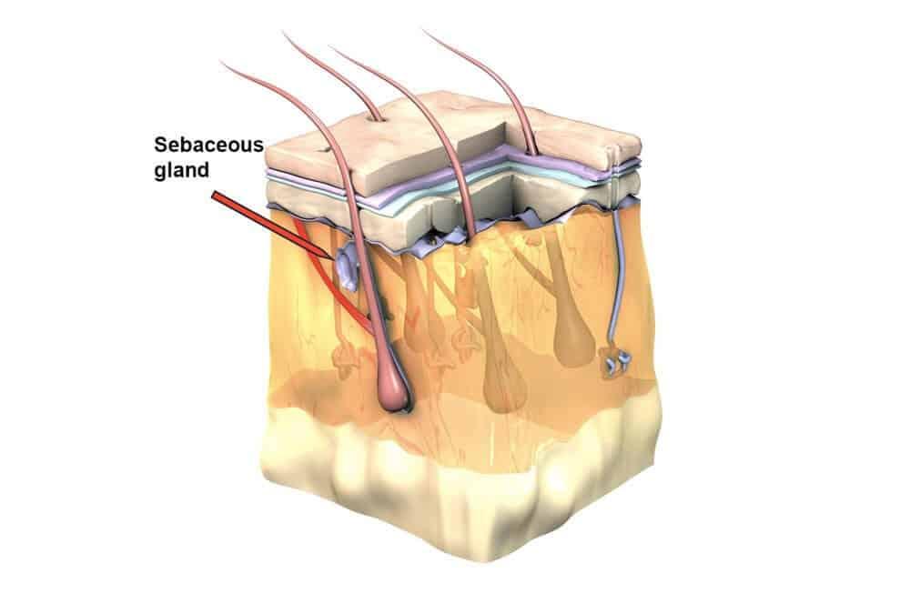 sebaceous gland - 3d diagram