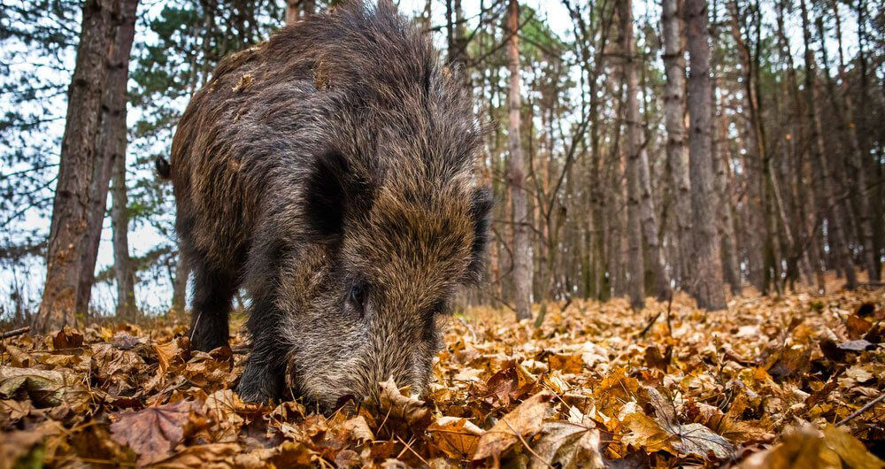 boar hair bristle for a beard brush