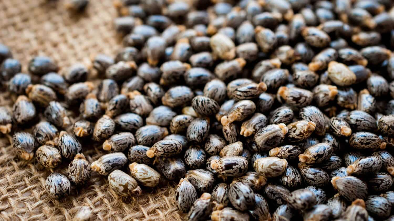 castor oil plant seeds for pre shaving oil